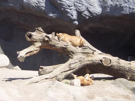 faule Löwen