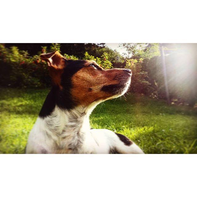 Chillen im Garten #Jack #Russell #Dog