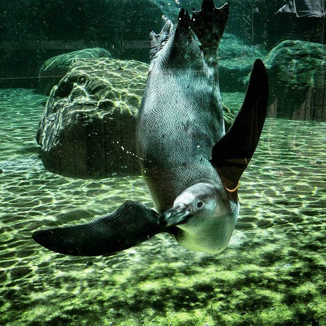 Bei der Hitze abtauchen wie ein #Pinguin, das wär's...  #zoodresden